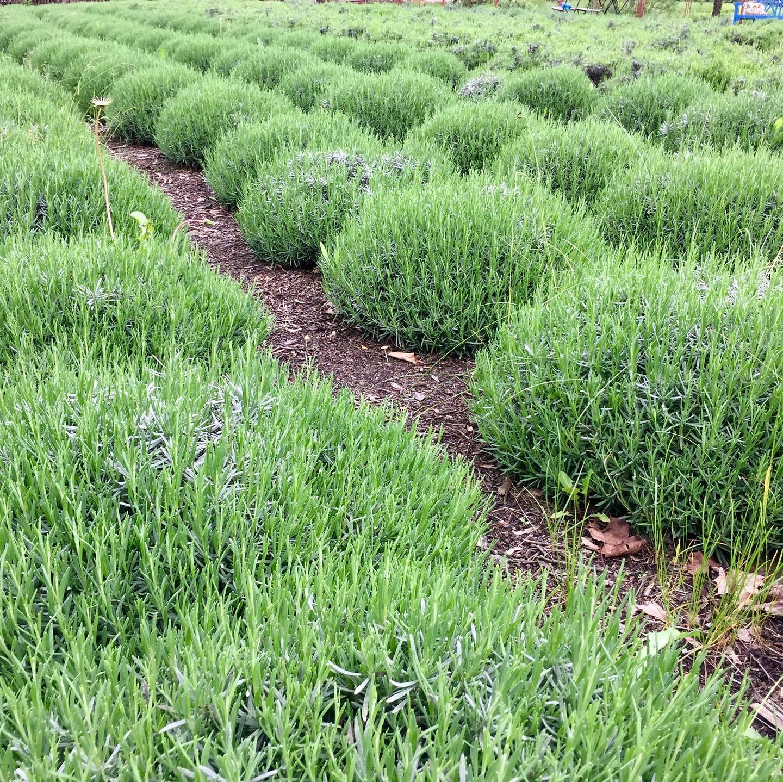 Levandulova-zahrada-lavendka-1